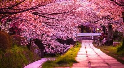 cherry-blossoms-sakura-spring-4